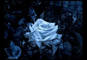 blue-rose-pretty-design